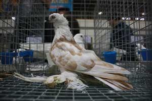 Подготовка голубей
