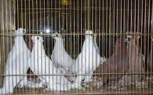 Выставка голубеводов
