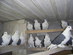 Ленинградские бантистые голуби